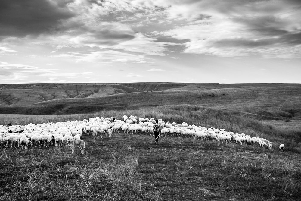 A lone Tush shepherd moves his flock across the Vashlovani pastures; he will spend all day with the sheep on the plains with only them and his dogs for company