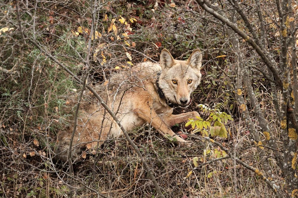 One of the resident predators of the PA; the wolves of Vashlovani are relatively small due, in part, to the low-resource nature of the area. This is also reflected in pack size with the typical group consisting of only a breeding pair and the young of the year