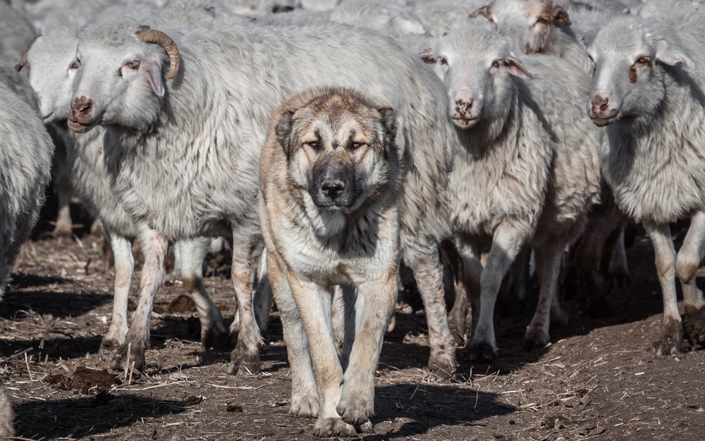 The formidable form of a Caucasian sheepdog (Caucasi Nagazi) bred to be strong enough to fend off wolves and fit enough to endure the long transhumance between pastures