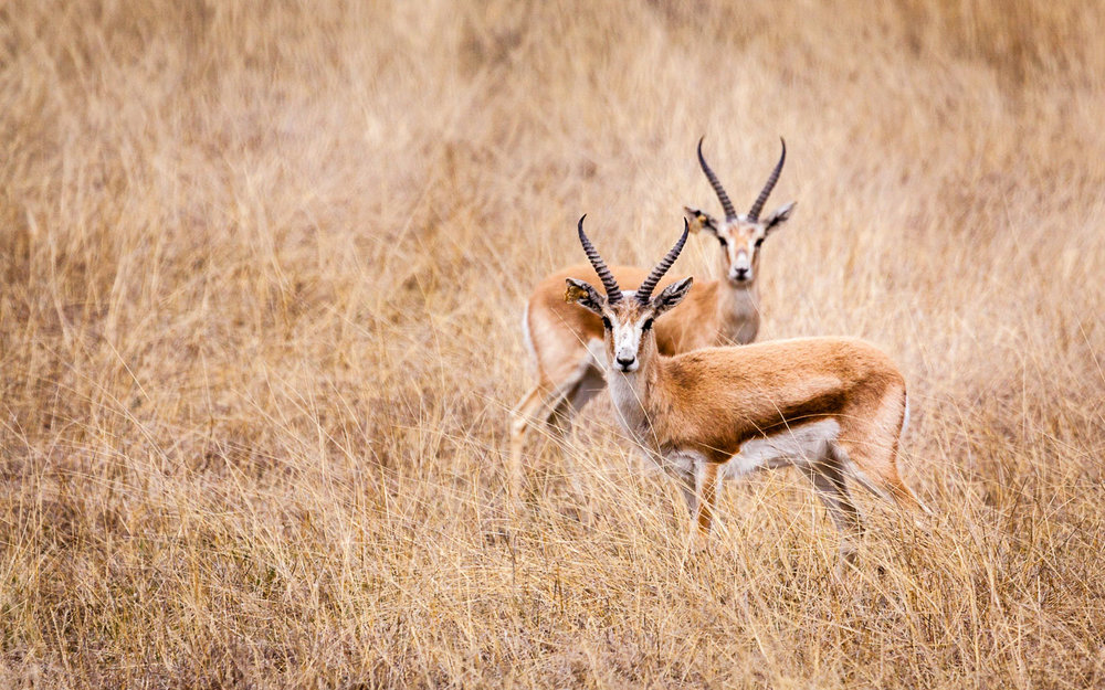 The goitered gazelle is returning to the Vashlovani protected areas thanks to the work of agencies such as FFI, WWF and NACRES