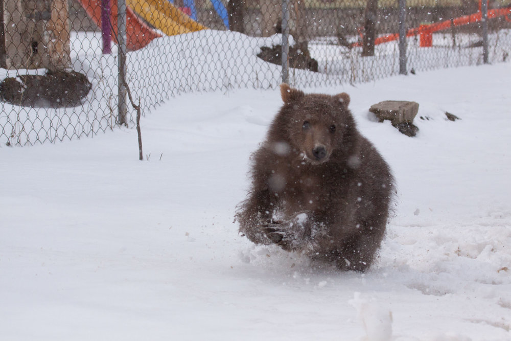 The stages of capturing a frolicking bear cub;...