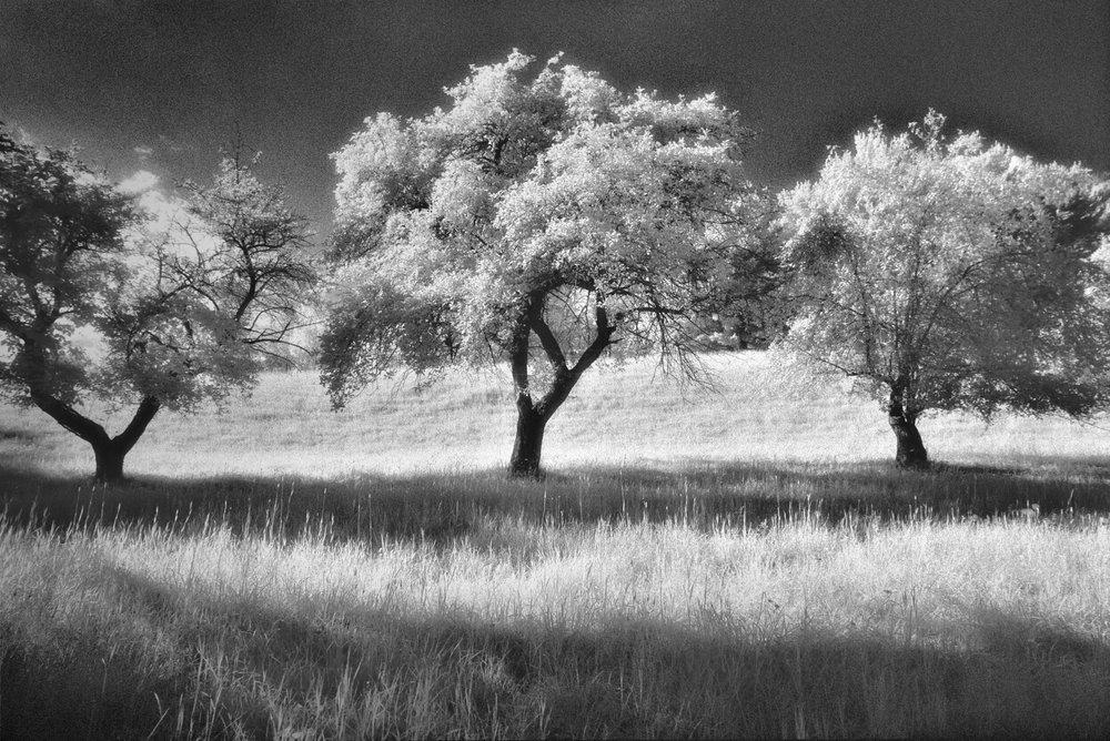 infrared-apple-trees-16.jpg