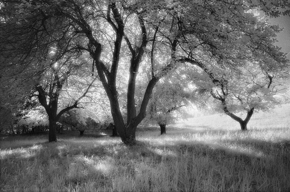 infrared-apple-trees-4,16.jpg