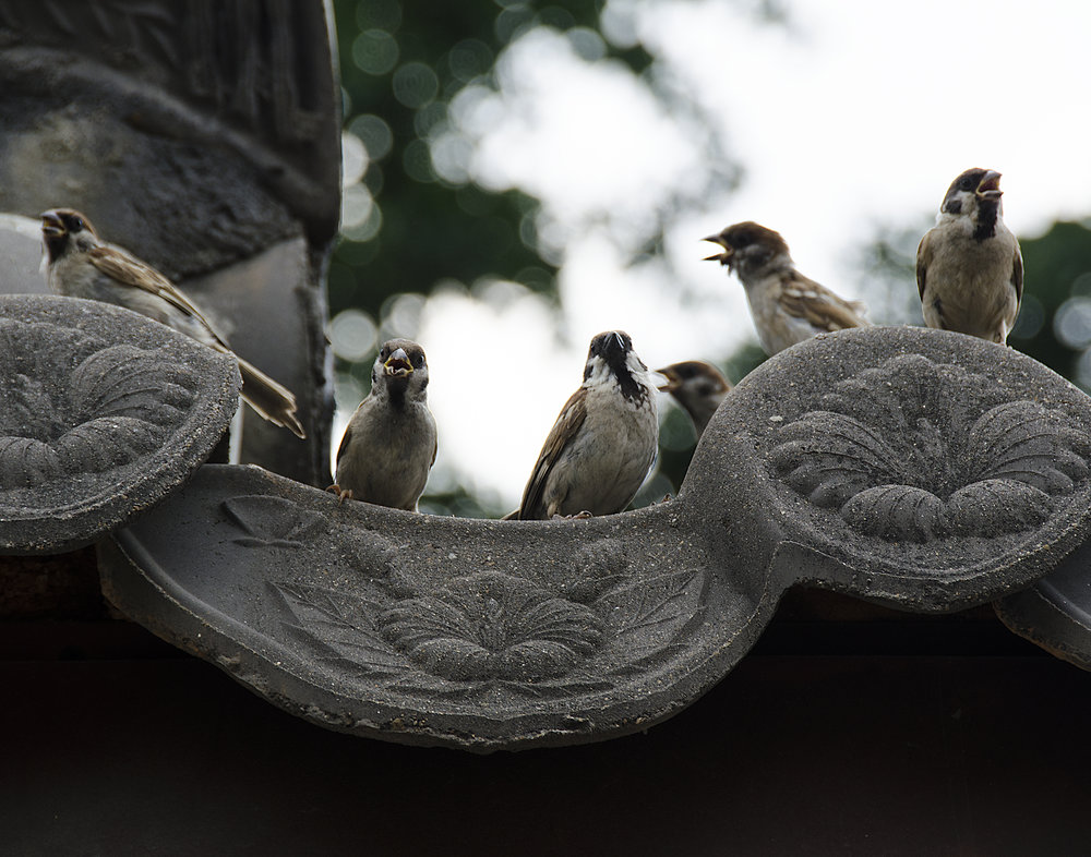 Spencer_Drake_Perch_of_The_Sparrows_Photography_sparrow_bird_architecture_korea_travel_wildlife.jpg