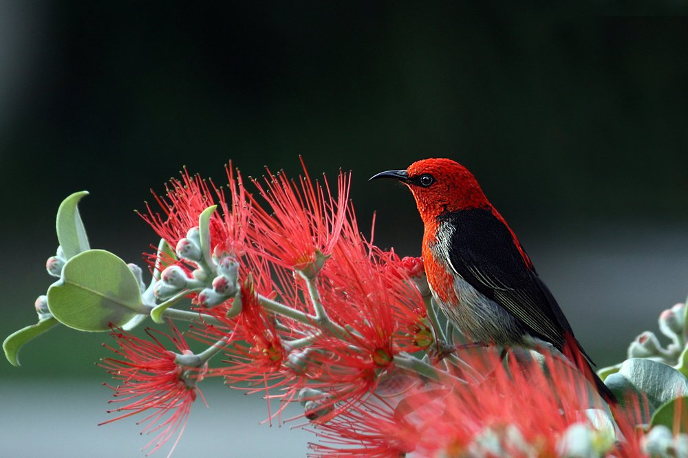 scarlet-honeyeater-bird-red-feathers.jpg