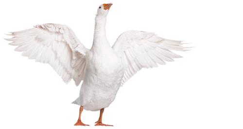 404-Goose.jpg