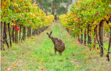 kangarooonanaustralianvineyard.png