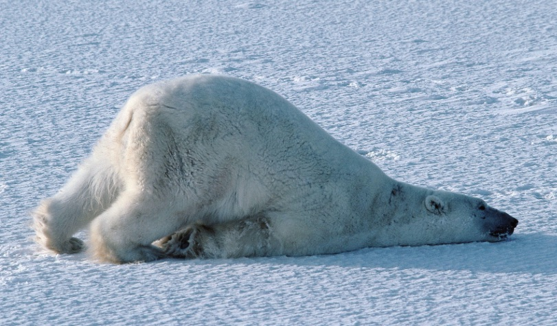 "Low dopamine levels look a lot like this polar bear: a general loss of your ""get-up-and-go"" attitude."