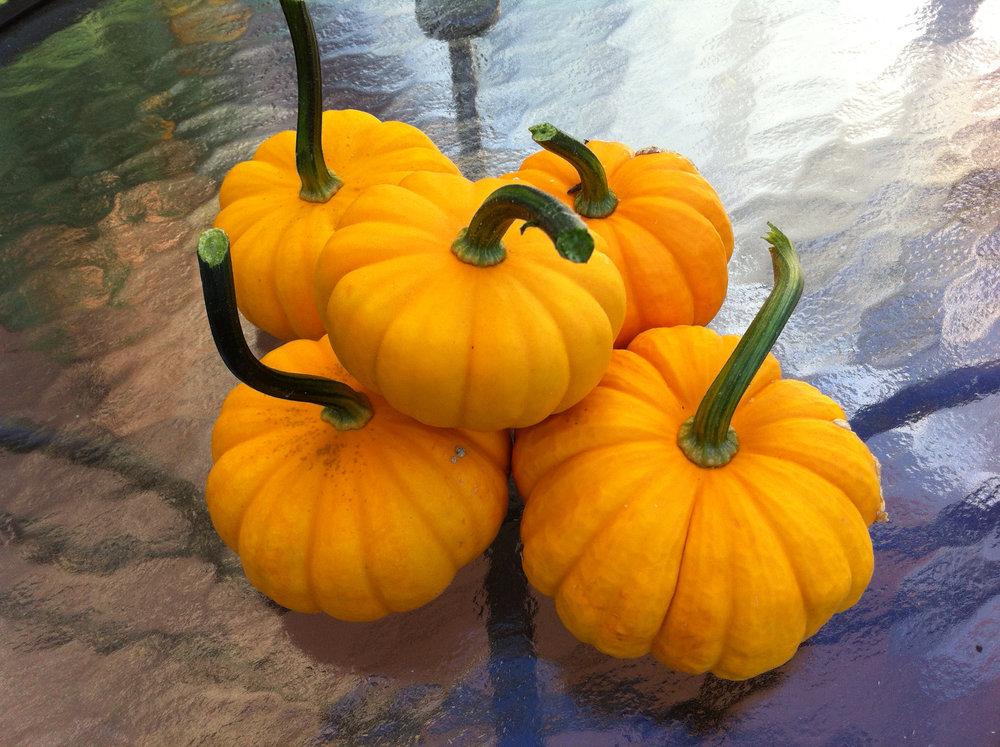 Jack b Little 'kins, Heirloom and Yellow Tumbling Tom tomatoes -