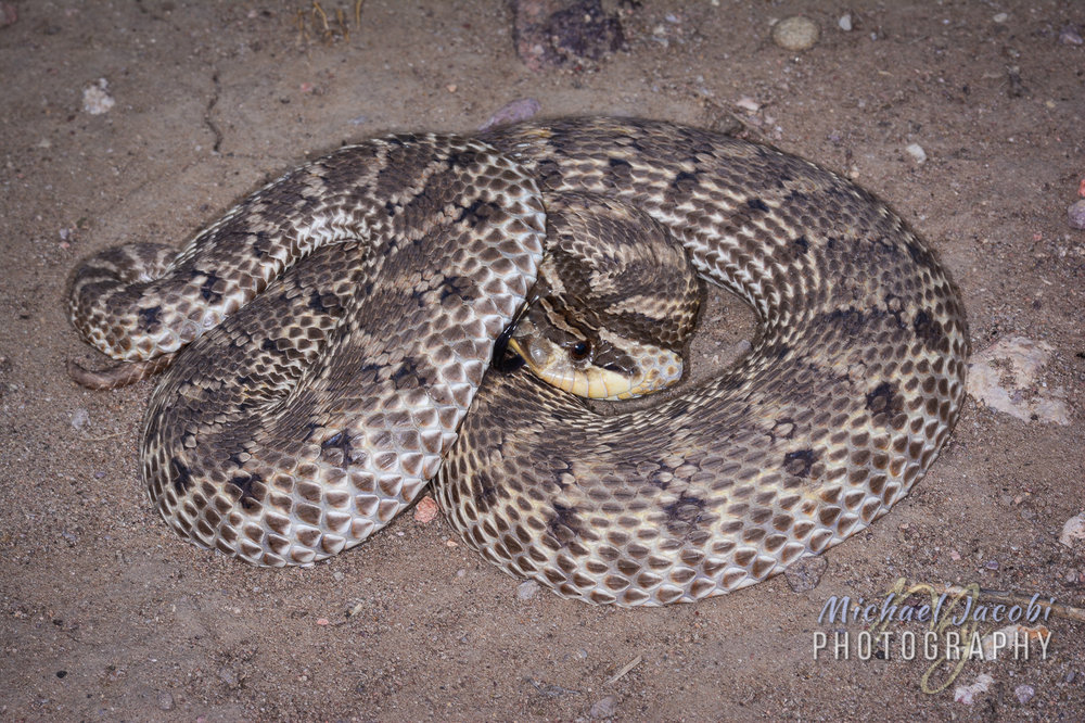 Mexican Hog-nosed Snake [ Heterodon kennerlyi ]