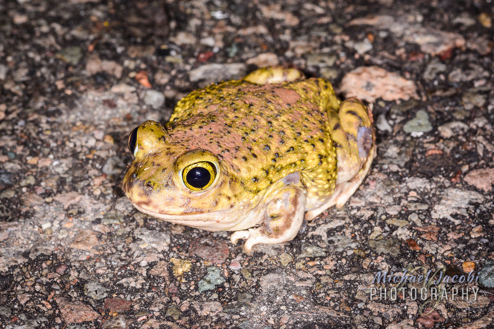 Scaphiophus couchi, Couch's Spadefoot Toad, Hidalgo County, New Mexico