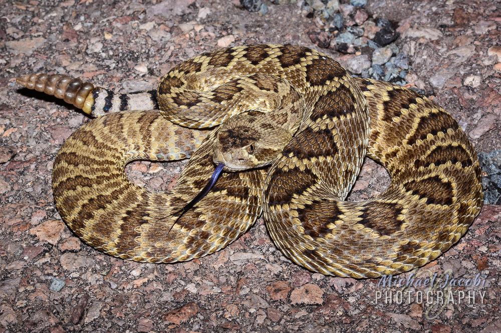 Crotalus scutulatus (Mohave Rattlesnake)