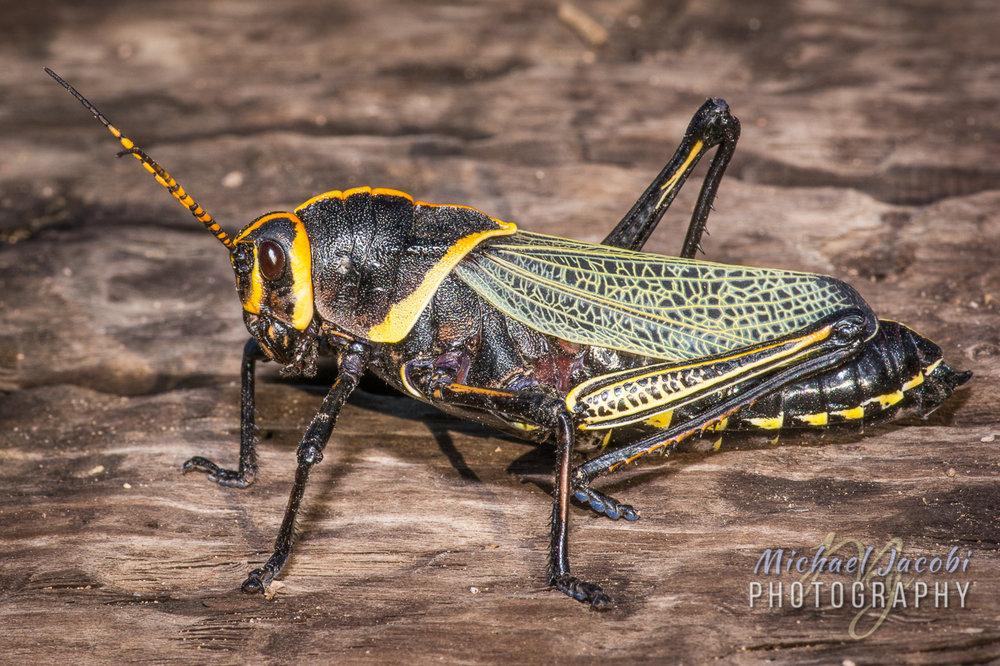 Taeniopoda eques (Western Horse Lubber Grasshopper)
