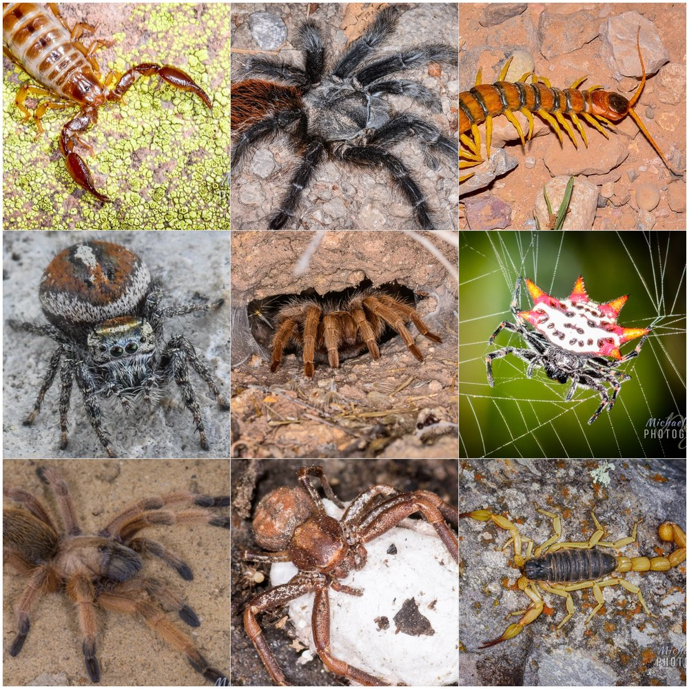 I wonder how many invertebrate images I took in 2017. I chased them alone whenever I could, and spent a bunch of time with Dr. Brent Hendrixson and his Millsaps College crew hunting scorpions, so picking nine was damn near impossible. As I look at my selections I can't believe what I excluded from Borneo, Malaysia and the U.S. I can't believe I didn't include one of the beautiful Silver Argiopes from Florida or Texas, or the wonderful orbweavers from Malaysia. The top row here depicts an endemic scorpion from the Peloncillo Mountains, followed by the beautiful Grand Canyon black tarantula - photographed not near the canyon itself but rather in the mountains north of Silver City, New Mexico, and, lastly, the largest centipede I have ever observed in the U.S., which I saw in the Chiricahua Mountains' Cave Creek Canyon one night with Randy Gray. The middle row begins with an unidentified  spider from Seminole Canyon State Park, Texas. The center is probably my best arachnid image and is a Desert Blonde Tarantula (Aphonopelma chaclodes) in its retreat in a rock face at Tortilla Flat near Mesa, Arizona. The spiny orbweaver that concludes the middle row is one of about fifty I found on one trail in Everglades National Park. At the bottom are a Rio Grande Gold Tarantula from near Laredo, Texas, a Crab Spider with an egg sac from the Santa Catalina Mountains northeast of Tucson and the last image is a Desert Hairy Scorpion from Utah that was collected by the Millsaps crew, but I photographed in a campsite in New Mexico.