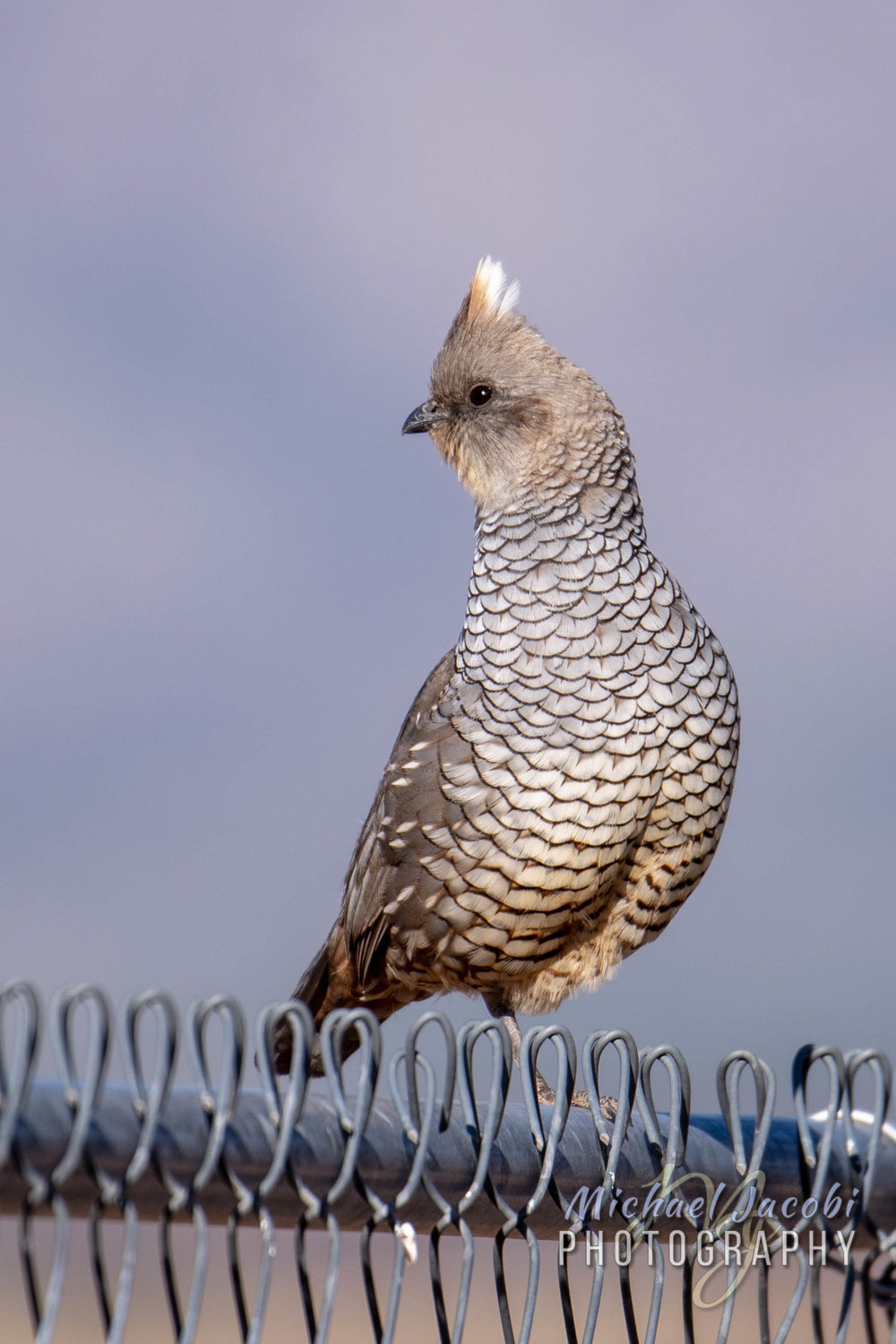 Scaled Quail, Rusty's RV Ranch, Rodeo, Hidalgo County, New Mexico