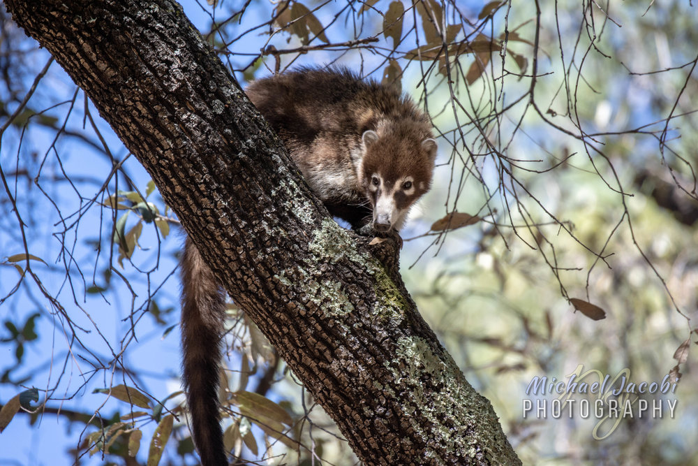 White-nosed Coati, South Fork Canyon, Chiricahua Mountains