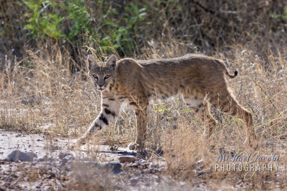Bobcat ( Lynx rufus ), Willow Tank near Arizona/New Mexico state line.
