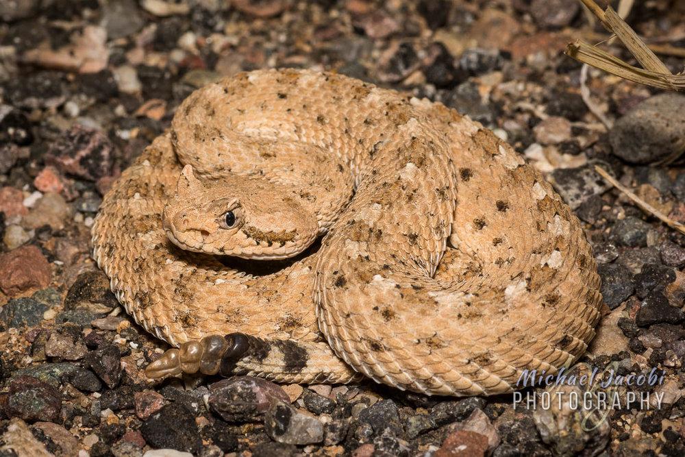 Sonoran Desert Sidewinder ( Crotalus cerastes cercobombus ), Pinal County, Arizona