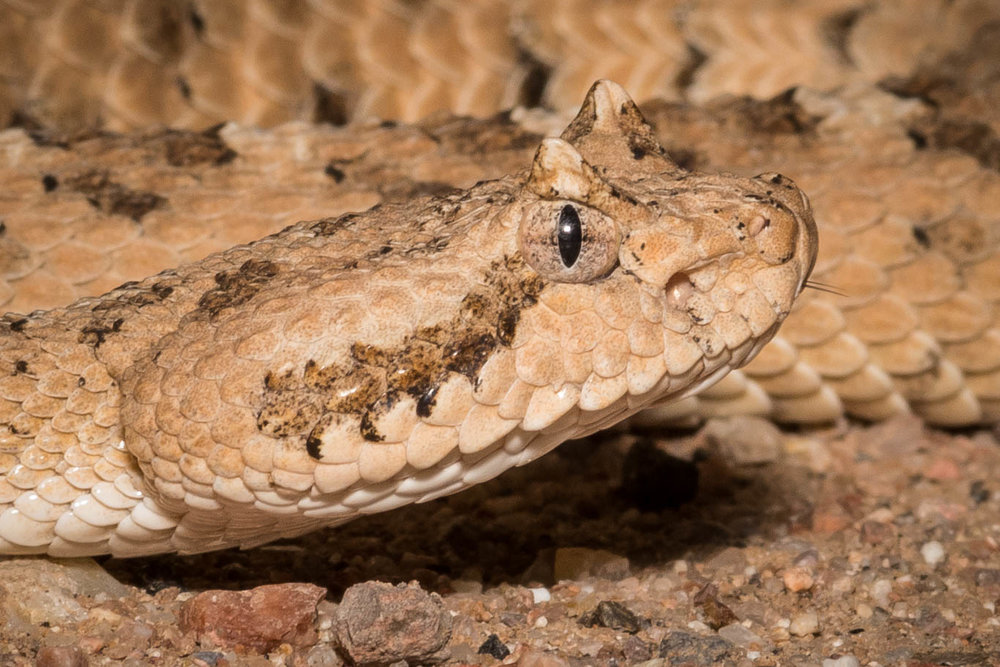 Portrait of that night's Sonoran Desert Sidewinder ( Crotalus cerastes cercobombus )