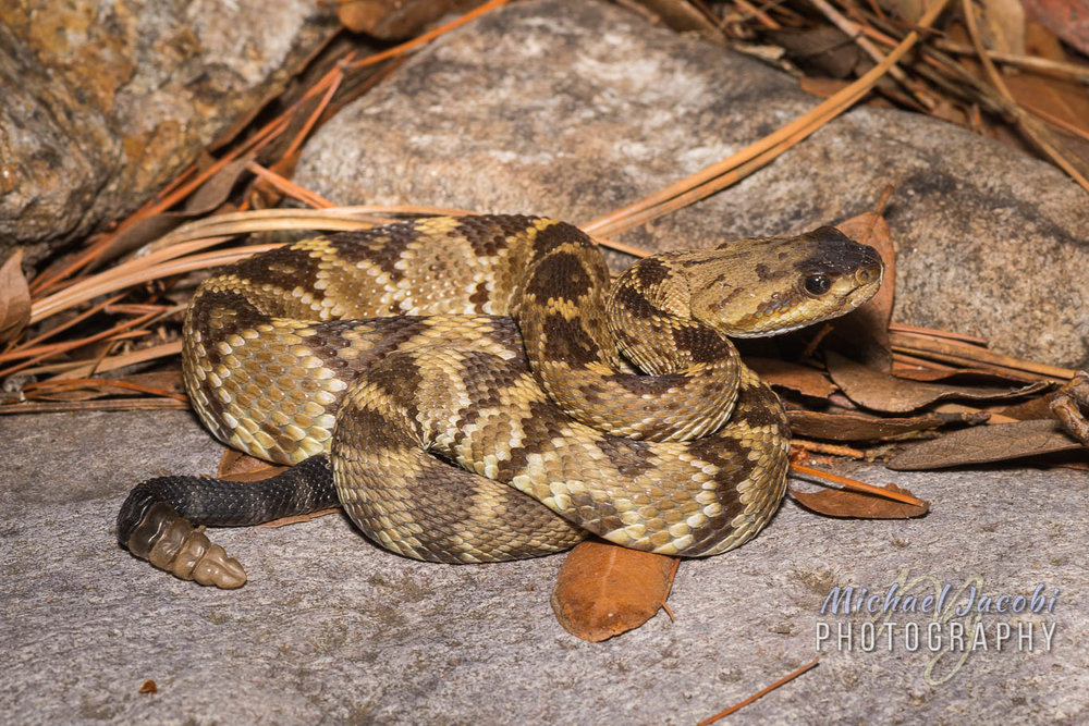 "Chad's ""lifer"" Western Black-tailed Rattlesnake ( Crotalus molossus )"