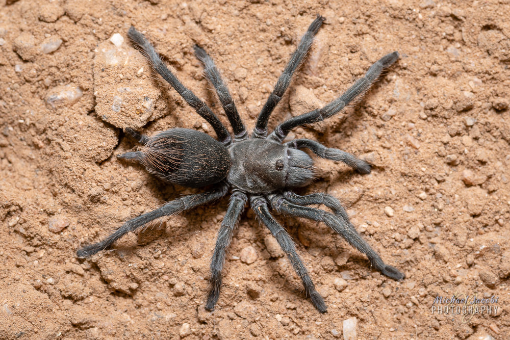 Adult female,  Aphonopelma paloma , Pinal County, Arizona.  Legspan the diameter of a quarter.