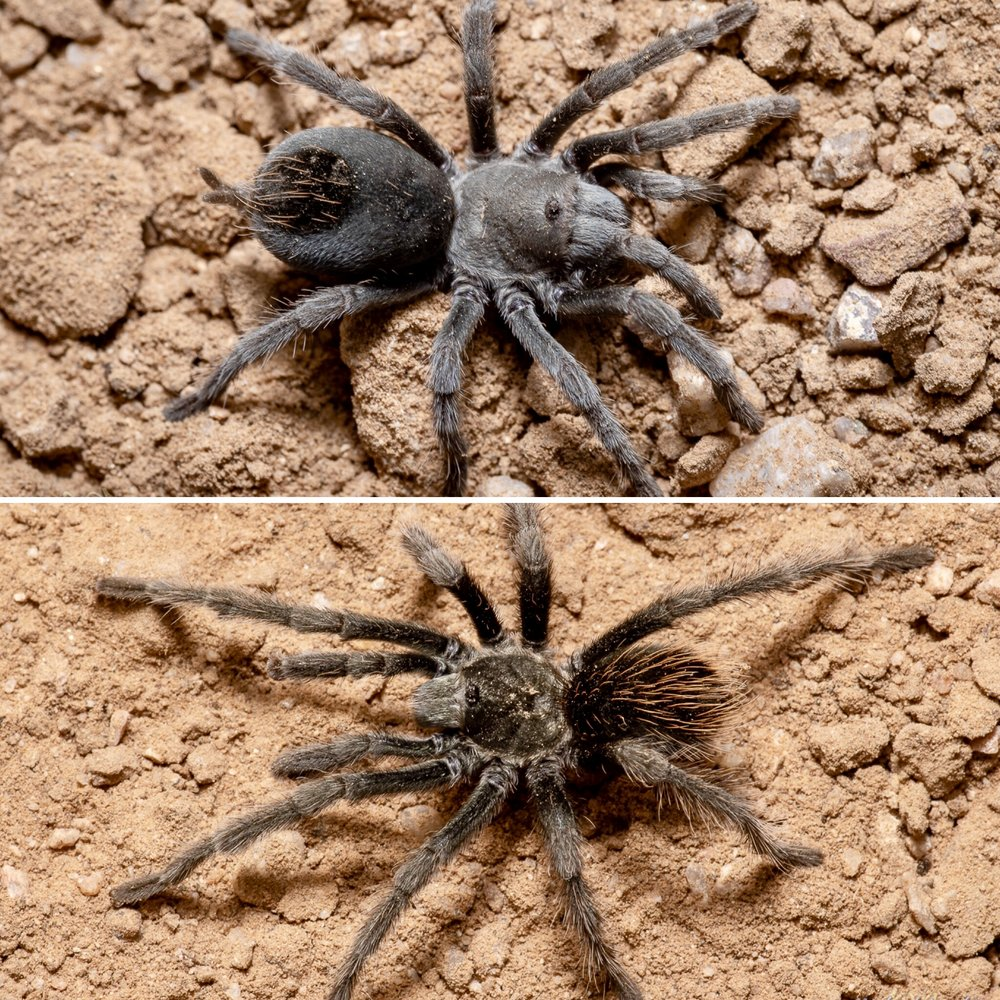 Aphonopelma saguaro , female (top) and male, Bear Canyon, Pima County, Arizona