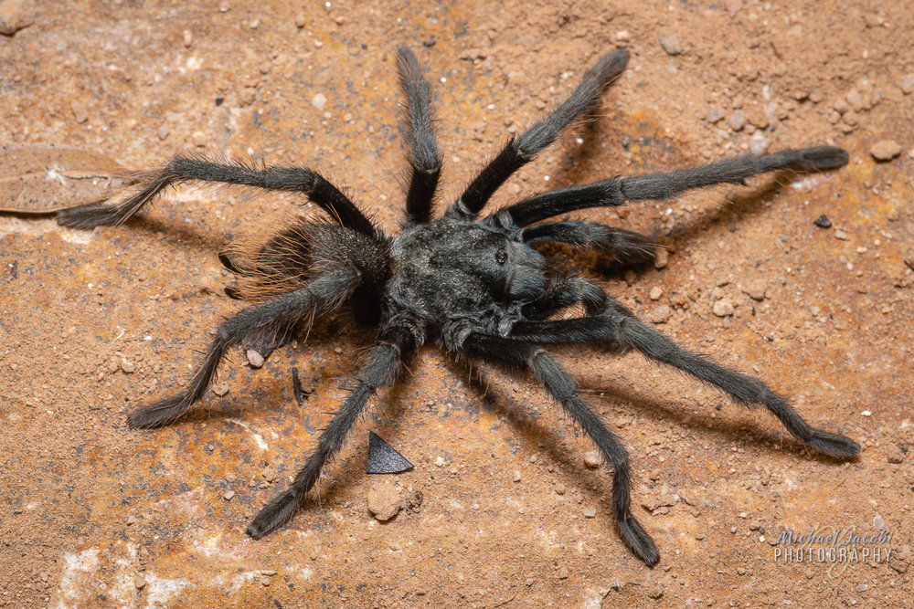 Aphonopelma catalina , male #1, Santa Catalina Mountains, Pima County, Arizona