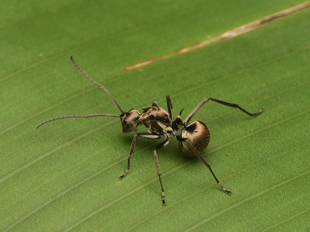 Goldback Spiny Ant ( Polyrhachis  sp.),   Penang Island, Malaysia  • Nikon D500, Tokina 100mm f/2,8 macro, Nikon SB900 @ 1/4 power with Alex Goh Macro Diffuser, ISO100, f/18, 1/200s