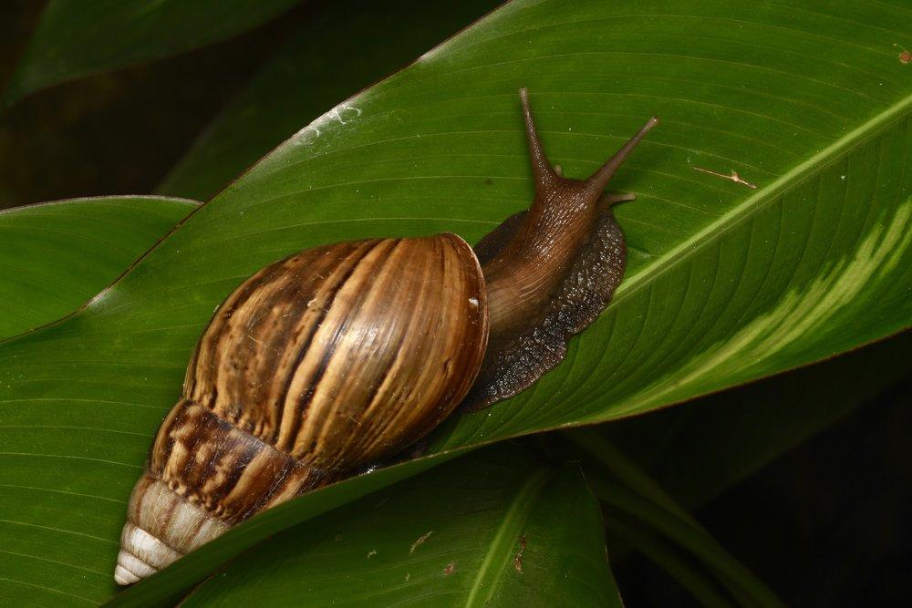 African Giant Land Snail ( Lissachatina fulica ),   Penang Island, Malaysia  • Nikon D500, Tokina 100mm f/2,8 macro, Nikon SB900 @ 1/2 power with Alex Goh Macro Diffuser, ISO100, f/18, 1/200s