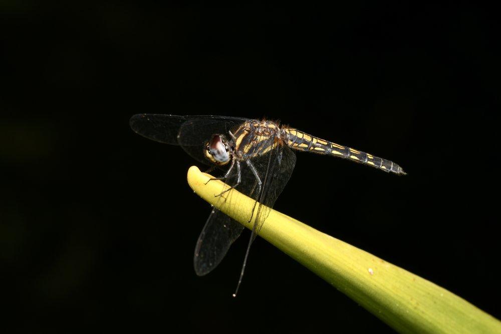Black Stream Skimmer ( Trithemis festiva ),   Penang Botanical Gardens, Malaysia  • Nikon D500, Tokina 100mm f/2,8 macro, Nikon SB900 @ 1/4 power with Alex Goh Macro Diffuser, ISO100, f/18, 1/160s