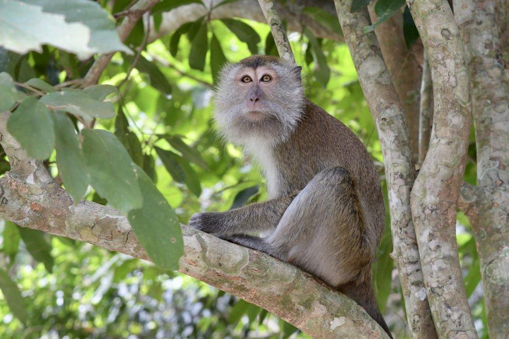 Long-tailed Macaque ( Macaca fascicularis ),   Langkawi Island, Malaysia  • Nikon D500, Nikon 24-120mm f/4 @ 95mm, tripod, ISO400, f/7.1, 1/25s