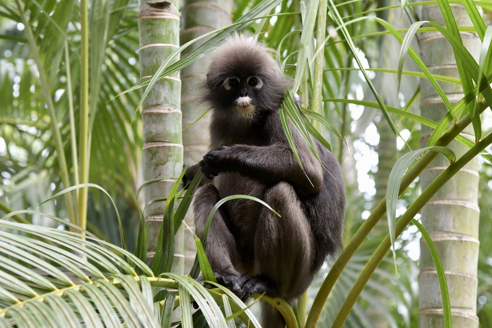 Dusky Leaf Monkey ( Trachypithecus obscurus carbo ),   Langkawi Island, Malaysia  • Nikon D500, Nikon 24-120mm f/4 @ 92mm, handheld, ISO200, f/5, 1/250s