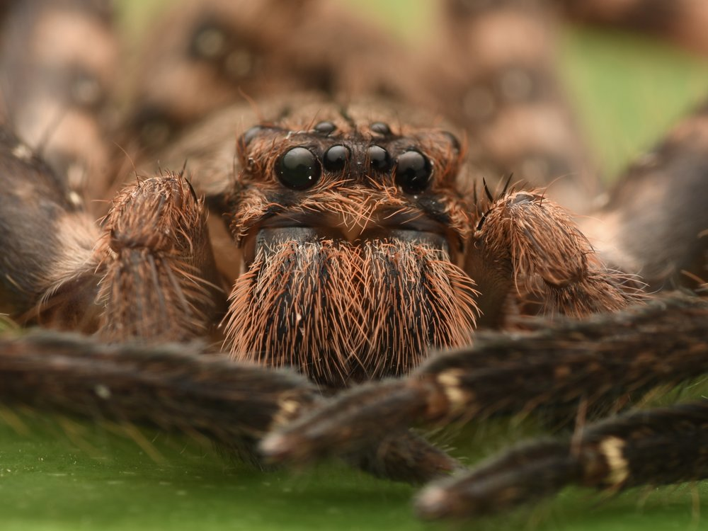 Purple-brown Huntsman Spider ( Heteropoda lunula ),   Telaga Tujuh, Langkawi Island, Malaysia  • Nikon D500, Tokina 100mm f/2,8 macro with Raynox DCR-250, Nikon SB900 @ 1/8 power with Alex Goh Macro Diffuser, ISO100, f/22, 1/60s