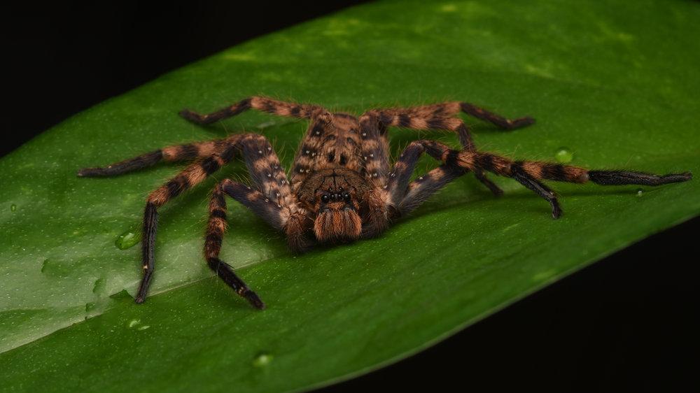 Purple-brown Huntsman Spider ( Heteropoda lunula ),   Telaga Tujuh, Langkawi Island, Malaysia  • Nikon D500, Tokina 100mm f/2,8 macro, Nikon SB900 @ 1/8 power with Alex Goh Macro Diffuser, ISO100, f/18, 1/60s