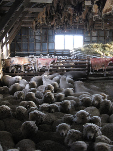sheep-in-the-barn.jpg