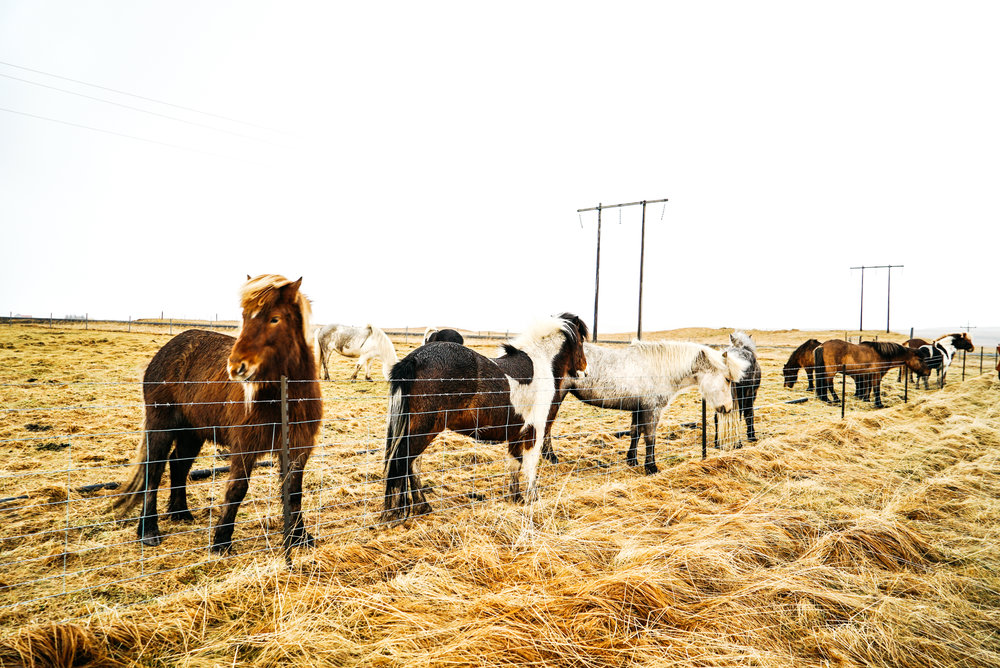 Icelandic Horses Travel Guide