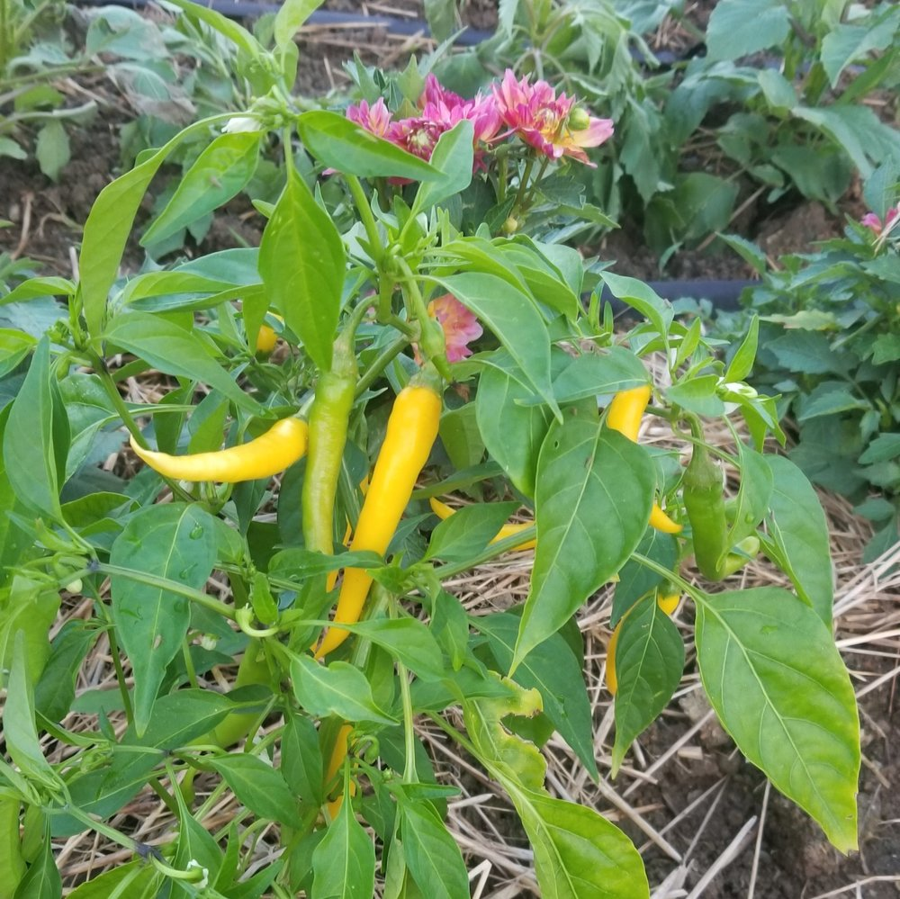 bab-yellow-cayenne.jpg