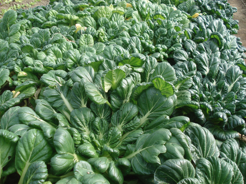 TATSOI - Growing Location: Hollister CA, in the Salinas Valley (south of San Francisco)Harvest Date: February 9, 2019Best By: February 23, 2019Non-GMO, triple washed, no harmful pesticides.Tatsoi is an Asian variety of Brassica rapa grown for greens. This plant has become popular in North American cuisine as well, and is now grown throughout the world. The plant has dark green spoon-shaped leaves which form a thick rosette. It has a soft creamy texture and has a subtle yet distinctive flavor. Tatsoi contains high levels of vitamin C, carotenoids, folic acid, calcium and potassium.Product Code 112919