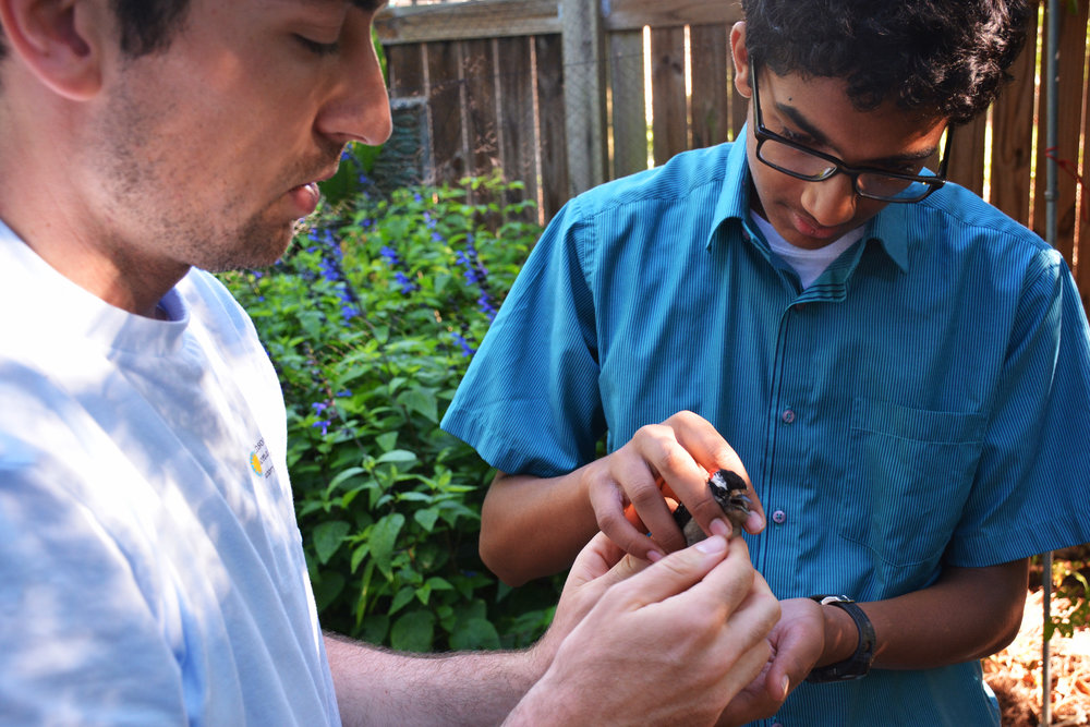 Scientist Clay Graham (left) passes a downy woodpecker to Aniketh Venkateswaran to release as part of the Smithsonian's Neighborhood Nestwatch program.