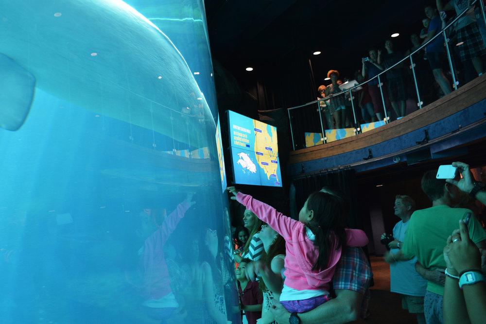 Visitors gather at the Georgia Aquarium's beluga tank in Atlanta. The aquarium, like others in the U.S., is running low on beluga whales.