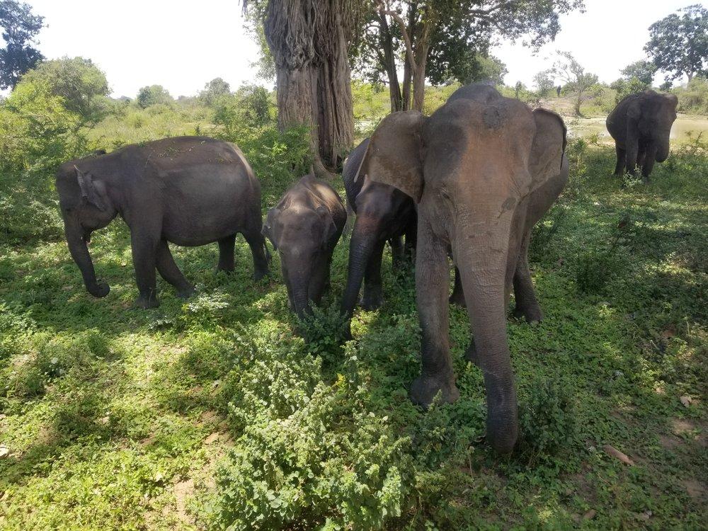 Elephants at Udawalawa National Park