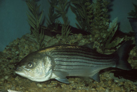fauna_02-striped bass.jpg