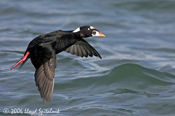 fauna_03 surf scoter.jpg