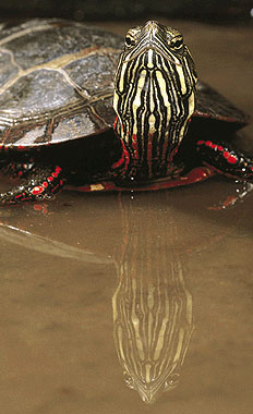 fauna_08- painted turtle.jpg