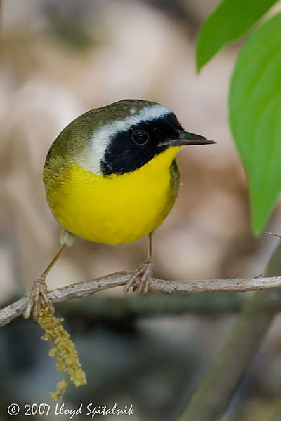 fauna_09 common yellowthroat.jpg