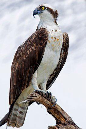 fauna_12 osprey.jpg