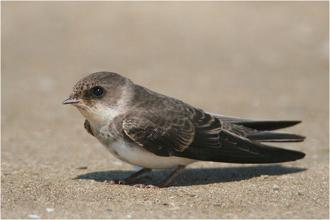 Flora - bank swallow.png