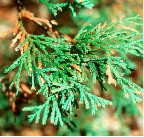 Flora - Atlantic White Cedar.png