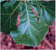 Flora - Blackjack Oak.png