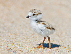 Flora - Piping plover.png